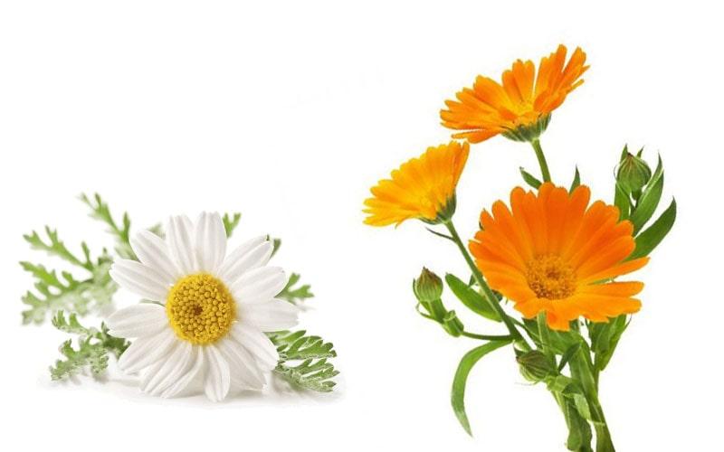 بخور بابونه و گل همیشه بهار