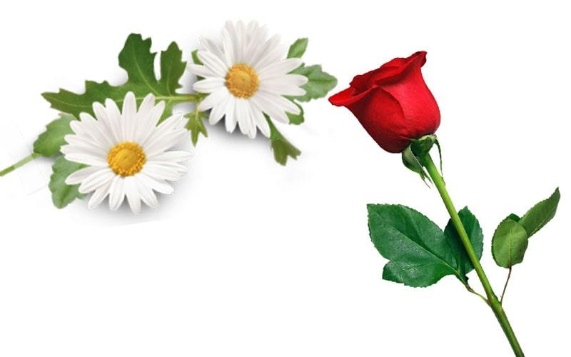بابونه و گل رز